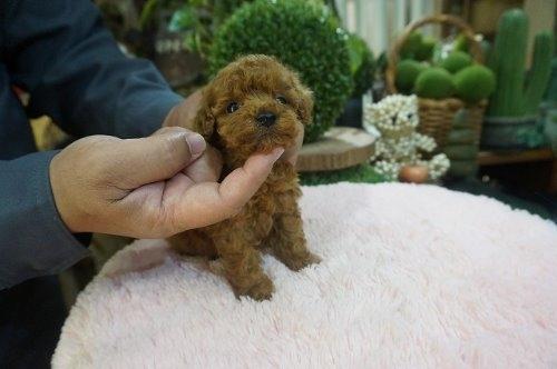 トイプードルの子犬(ID:1231011596)の2枚目の写真/更新日:2021-04-04