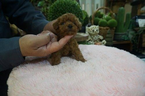 トイプードルの子犬(ID:1231011596)の3枚目の写真/更新日:2021-04-04