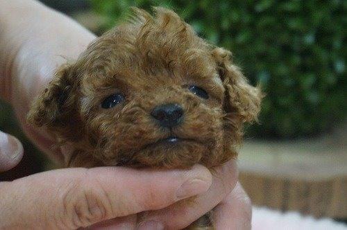 トイプードルの子犬(ID:1231011597)の1枚目の写真/更新日:2021-04-01