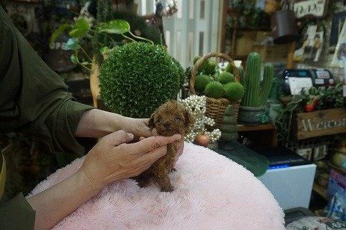 トイプードルの子犬(ID:1231011597)の2枚目の写真/更新日:2021-04-01