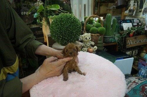 トイプードルの子犬(ID:1231011597)の3枚目の写真/更新日:2021-04-01