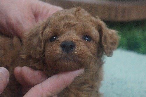 トイプードルの子犬(ID:1231011604)の1枚目の写真/更新日:2021-06-12