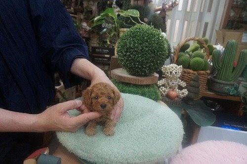 トイプードルの子犬(ID:1231011604)の3枚目の写真/更新日:2021-06-12