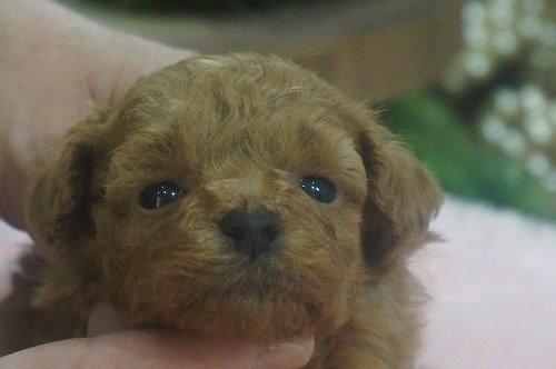 トイプードルの子犬(ID:1231011605)の1枚目の写真/更新日:2021-06-12