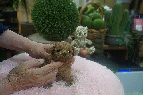 トイプードルの子犬(ID:1231011605)の2枚目の写真/更新日:2021-06-12