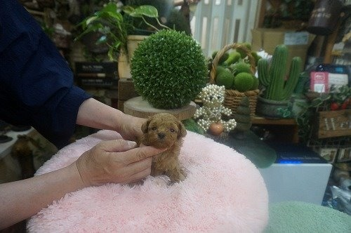 トイプードルの子犬(ID:1231011605)の3枚目の写真/更新日:2021-06-12