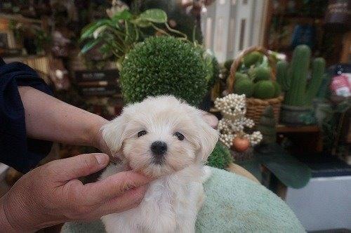 マルチーズの子犬(ID:1231011606)の2枚目の写真/更新日:2021-06-29