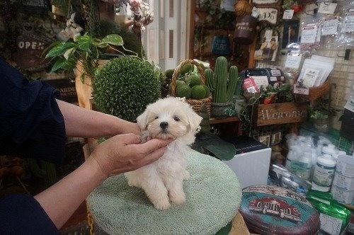 マルチーズの子犬(ID:1231011606)の3枚目の写真/更新日:2021-06-29