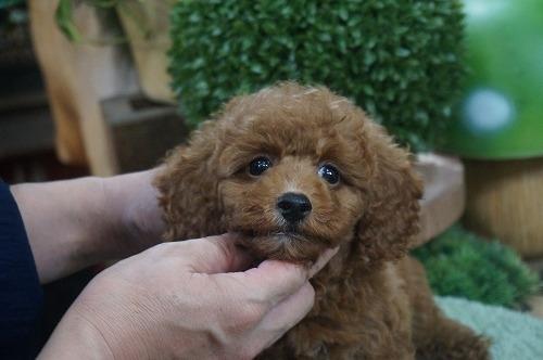 トイプードルの子犬(ID:1231011612)の1枚目の写真/更新日:2021-07-29