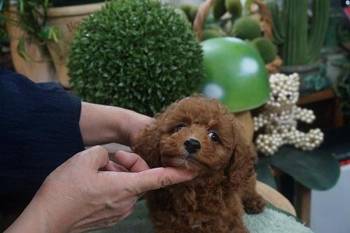 トイプードルの子犬(ID:1231011612)の2枚目の写真/更新日:2021-07-29