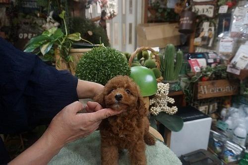 トイプードルの子犬(ID:1231011612)の3枚目の写真/更新日:2021-07-29