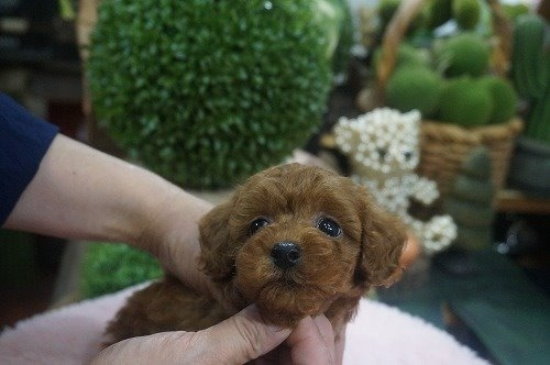 トイプードルの子犬(ID:1231011613)の2枚目の写真/更新日:2021-07-13