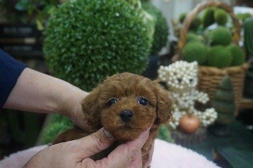 トイプードルの子犬(ID:1231011613)の3枚目の写真/更新日:2021-07-13