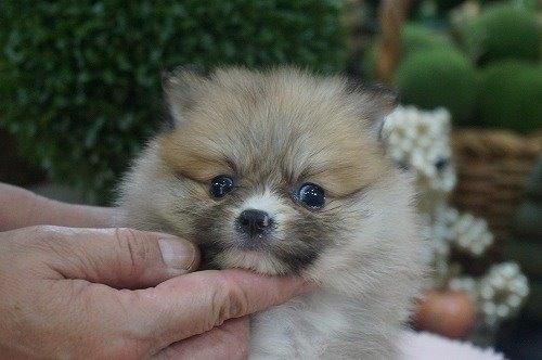 ポメラニアンの子犬(ID:1231011614)の1枚目の写真/更新日:2021-07-24