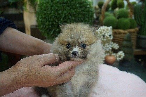 ポメラニアンの子犬(ID:1231011614)の2枚目の写真/更新日:2021-07-24