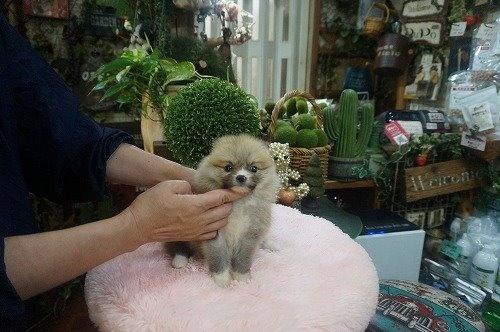 ポメラニアンの子犬(ID:1231011614)の3枚目の写真/更新日:2021-07-24