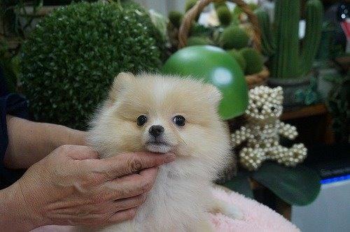 ポメラニアンの子犬(ID:1231011615)の2枚目の写真/更新日:2021-07-24