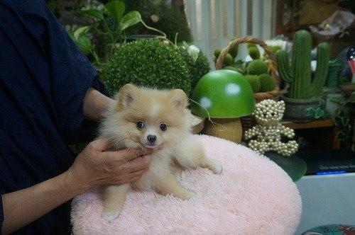 ポメラニアンの子犬(ID:1231011615)の3枚目の写真/更新日:2021-07-24