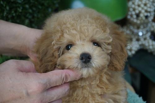トイプードルの子犬(ID:1231011617)の1枚目の写真/更新日:2021-08-03