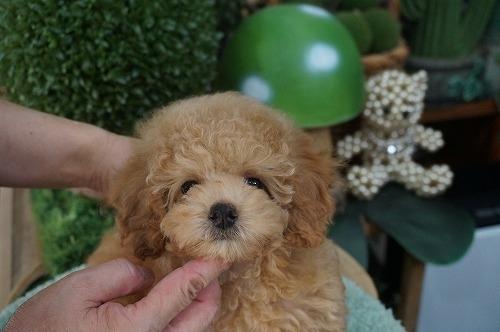 トイプードルの子犬(ID:1231011617)の2枚目の写真/更新日:2021-08-03