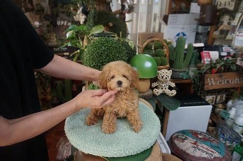 トイプードルの子犬(ID:1231011617)の3枚目の写真/更新日:2021-08-03