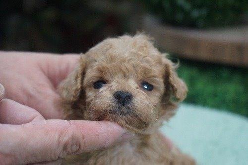 トイプードルの子犬(ID:1231011618)の1枚目の写真/更新日:2021-08-03