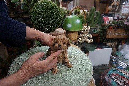 トイプードルの子犬(ID:1231011618)の2枚目の写真/更新日:2021-08-03