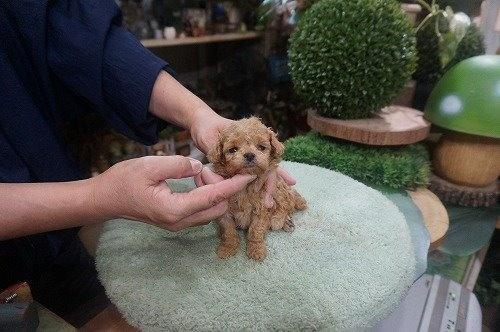 トイプードルの子犬(ID:1231011618)の3枚目の写真/更新日:2021-08-03