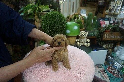トイプードルの子犬(ID:1231011619)の3枚目の写真/更新日:2021-08-03