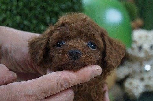 トイプードルの子犬(ID:1231011627)の1枚目の写真/更新日:2021-09-09
