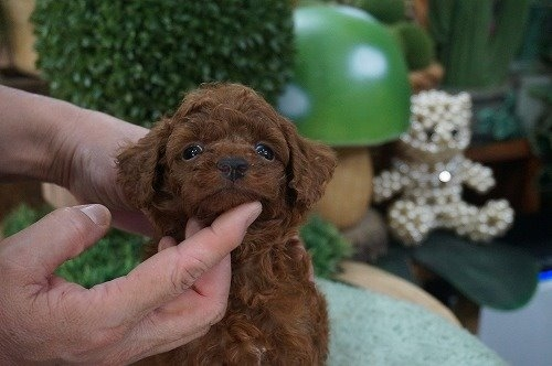 トイプードルの子犬(ID:1231011627)の2枚目の写真/更新日:2021-09-09