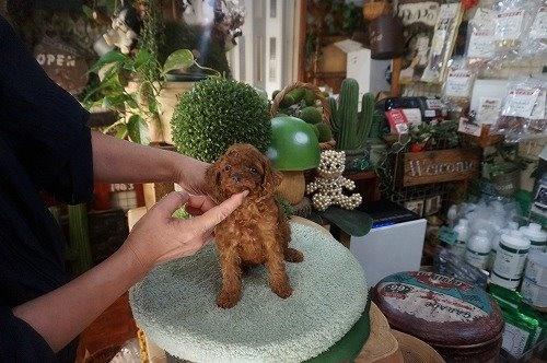 トイプードルの子犬(ID:1231011627)の3枚目の写真/更新日:2021-09-09