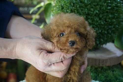 トイプードルの子犬(ID:1231011628)の1枚目の写真/更新日:2021-10-03