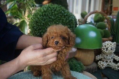 トイプードルの子犬(ID:1231011628)の3枚目の写真/更新日:2021-10-03