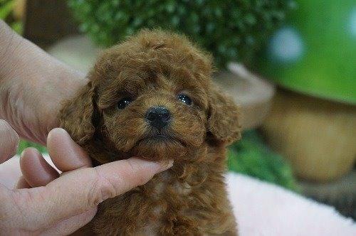 トイプードルの子犬(ID:1231011629)の1枚目の写真/更新日:2021-09-09