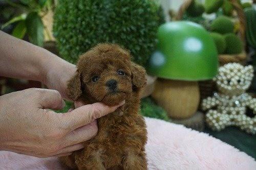 トイプードルの子犬(ID:1231011629)の2枚目の写真/更新日:2021-09-09
