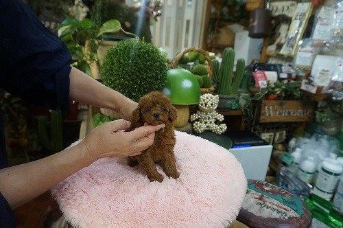 トイプードルの子犬(ID:1231011629)の3枚目の写真/更新日:2021-09-09