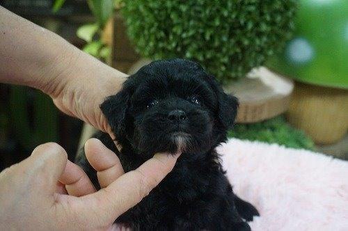 ミックスの子犬(ID:1231011631)の2枚目の写真/更新日:2021-09-17