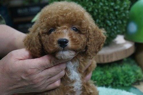 トイプードルの子犬(ID:1231011633)の1枚目の写真/更新日:2021-10-21