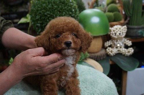 トイプードルの子犬(ID:1231011633)の2枚目の写真/更新日:2021-10-21