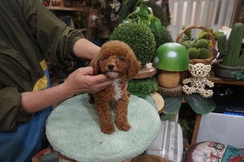 トイプードルの子犬(ID:1231011633)の3枚目の写真/更新日:2021-10-21