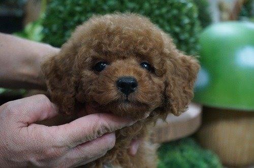 トイプードルの子犬(ID:1231011634)の1枚目の写真/更新日:2021-10-21