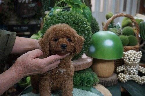 トイプードルの子犬(ID:1231011634)の2枚目の写真/更新日:2021-10-21