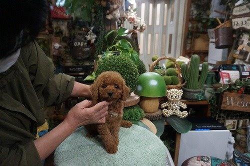 トイプードルの子犬(ID:1231011634)の3枚目の写真/更新日:2021-10-21