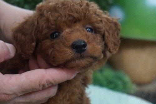 トイプードルの子犬(ID:1231011635)の1枚目の写真/更新日:2021-10-21
