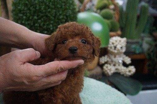 トイプードルの子犬(ID:1231011635)の2枚目の写真/更新日:2021-10-21