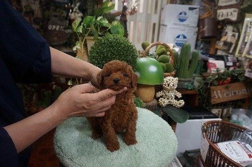 トイプードルの子犬(ID:1231011635)の3枚目の写真/更新日:2021-10-21