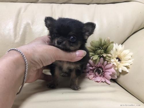 チワワ(ロング)の子犬(ID:1231111015)の1枚目の写真/更新日:2020-10-26