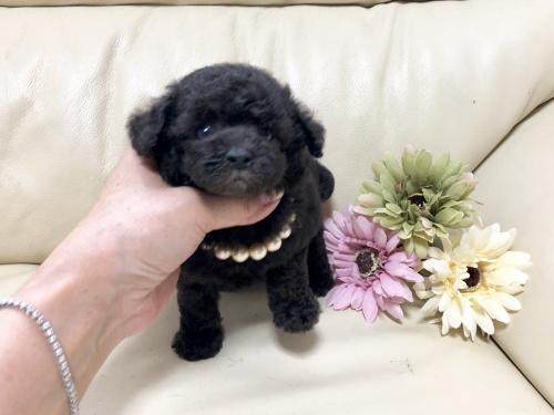 トイプードルの子犬(ID:1231111030)の1枚目の写真/更新日:2018-09-02
