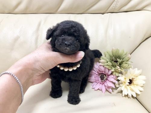 トイプードルの子犬(ID:1231111030)の3枚目の写真/更新日:2018-09-02